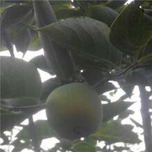 棗強黑柿子樹苗施肥管理圖片