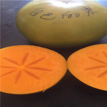 虹口磨盤柿子樹苗基地承諾守信圖片
