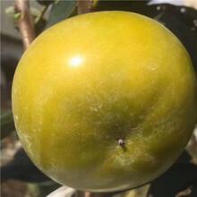 西峽澀柿子樹苗優質樹苗圖片