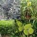 0.8公分浅刺板栗树苗大型培育基地-雨山区-丰产浅刺板栗树苗批发基地