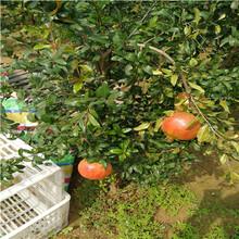 0.8公分软籽石榴树苗货源充足(勃利)石榴苗规格齐全图片