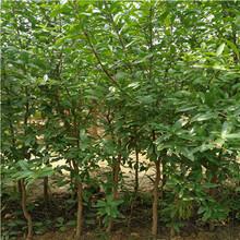 0.8公分大马牙石榴树苗供应(融安)石榴苗规格齐全图片