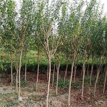 直径1公分青皮软籽石榴树苗种植技术(福鼎市)石榴苗量大从优图片