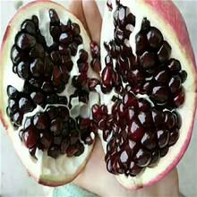 直径1公分黑籽甜石榴树苗免费提供种植技术(犍为)石榴苗量大从优图片