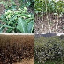 1公分中林核桃树苗免费提供种植指导-涞源-嫁接中林核桃树苗批发基地图片