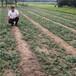 当年九叶青花椒苗批发-雨山区-0.5公分九叶青花椒苗大量出售