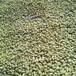 当年绿衣枳壳苗基地优质服务(高新区)0.4公分枳壳苗大量出售