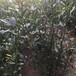 当年香圆枳壳苗效益高的树苗(陵水)0.4公分枳壳苗大量出售