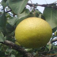 新品種早酥紅梨樹苗效益高的樹苗(大冶市)豐產梨苗管理技術