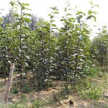 1公分玉露香梨樹苗基地現挖現賣(臨潁)優質梨苗大量出售