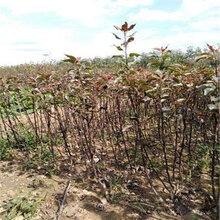 1公分紫巴梨樹苗培育技術(將樂)優質梨苗大量出售