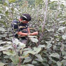1公分黃金梨樹苗形態特征(平山區)優質梨苗大量出售