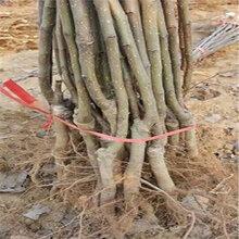 1公分玉露香梨樹苗基地誠信服務(沐川)優質梨苗大量出售