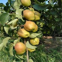 新品種翠冠梨樹苗大量出售(新華區)豐產梨苗管理技術
