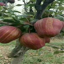 新品種愛宕梨樹苗基地供應(海豐)豐產梨苗管理技術
