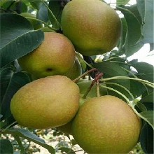 1公分早酥紅梨樹苗免費提供種植指導(新華區)優質梨苗大量出售