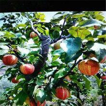 新品種幸水梨樹苗栽培管理(海豐)豐產梨苗管理技術