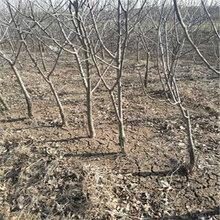 新品種紅酥脆梨樹苗品種特性(臨潁)豐產梨苗管理技術
