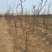 1公分新梨七號梨樹苗種植管理(臨潁)優質梨苗大量出售