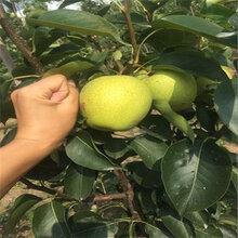 1公分早紅梨樹苗產地山東(鐘樓區)優質梨苗大量出售