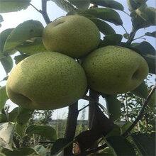 1公分雪花梨樹苗免費提供種植指導(青羊區)優質梨苗大量出售