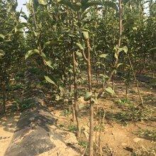 1公分新高梨樹苗產地山東(將樂)優質梨苗大量出售