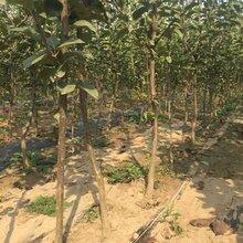1公分秋月梨樹苗適應性強(舞陽)優質梨苗大量出售