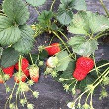 优质红花草莓苗鑫奥种植基地-沐川-丰产红花草莓苗长势健壮图片