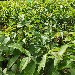 神农架0.8公分新新2号核桃树苗主要价值8518核桃树苗价格