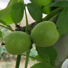 大量出售清香核桃树苗新疆薄壳核桃树苗大型培育基地图片