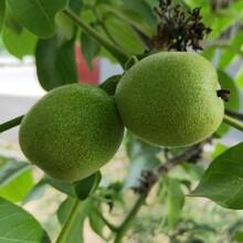 大量出售清香核桃树苗清香核桃树苗品种保证图片