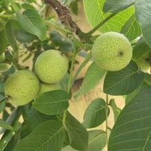 大量出售清香核桃树苗8518核桃树苗纯度厂家图片