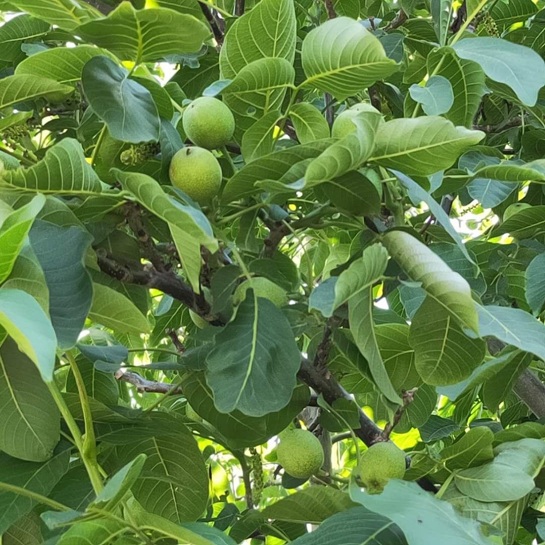 大量出售清香核桃树苗 中林核桃树苗质优价廉