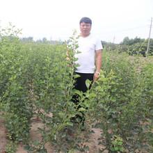 常年出售甜红子山楂树苗大金星山楂树苗管理方式图片