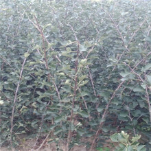 0.8公分甜山楂树苗免费提供种植技术/山楂苗剪修介绍图片