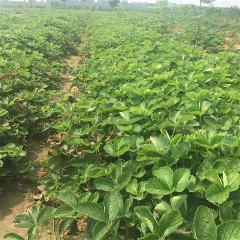 定日红颜草莓苗培育管理甜查理草莓苗出售