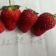 基地出售优质鬼怒甘草莓苗、价格合理图片