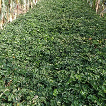 美13草莓苗种植技术要点/草莓苗成活率高图片