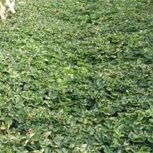 基地出售优质香绯草莓苗、大量出售图片