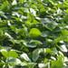 竹根滩镇香绯草莓苗长期出售鬼怒甘草莓苗出售