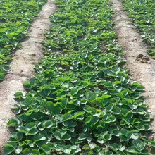 基地出售优质奶油草莓苗、优质树苗图片