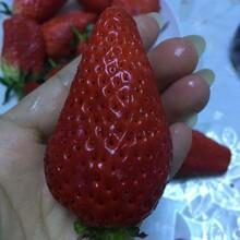 杨陵区美13草莓苗保湿发货明晶草莓苗出售?#35745;? onerror=