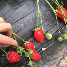 清香草莓苗大型培育基地,草莓苗基地欢迎你图片