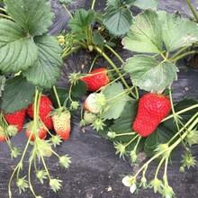 基地出售优质天香草莓苗、免费提供种植管理图片