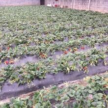 红颜草莓苗生产基地,草莓苗基地欢迎你图片