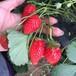 法蘭地草莓苗基地供應,草莓苗基地歡迎你