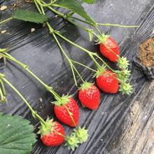 基地出售优质清香草莓苗、管理方法图片