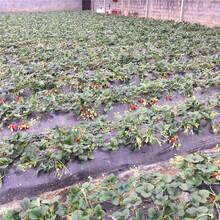 女峰草莓苗种植方法,草莓苗基地欢迎你图片