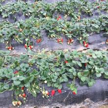 达赛来克特草莓苗免费提供种植指导,草莓苗基地欢迎你图片