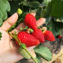 矮丰草莓苗培育介绍,草莓苗基地欢迎你图片
